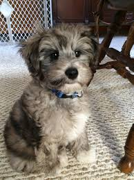 No Shed Dog Breeds Large by Blue Merle Schnoodle Puppy Hypoallergenic Non Shed Too Cute