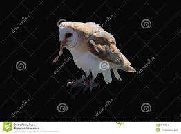 Barn Owl On A Black Background Stock Photo - Image: 57132270 Black Barn Owl Oc Eclipse By Pkhound On Deviantart Closeup Of A Stock Photo 513118776 Istock Birds Of The World Owls This Galapagos Barn Owl Lives With Its Mate A Shelf In The Started Black Paper Today Ref Paul Isolated On Night Stock Photo 296043887 Shutterstock Stu232 Flickr Bird 6961704 Moonlit Buttercups Moth Necklace Background Image 57132270 Sd Falconry Mod Eye Moody