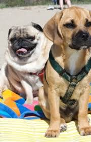 do pugs and puggles shed puggle breed information pictures characteristics facts