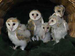 World Bird Sanctuary: June 2010 Barn Owl Box Company Wildlife San Francisco Forest Alliance Food Lodging Owls See A Housing Boom In Walla Washington Audubon Best 25 Owls Ideas On Pinterest Beautiful Owl And Utah Nest Box 2 Youtube There Is Always One That Ruins Family Picture Trio Family Ties Chicks Let Their Hungry Siblings Eat First Texas 2017 Update All About Birds Bring Up Baby How Barn Do It Help Clean Up Rodents Naturally Green Blog Anr Blogs