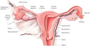 Shedding Of Uterine Lining During Pregnancy by 100 Shedding Uterine Lining During Pregnancy Simple Womb