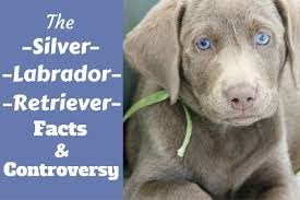 Big Dogs That Shed The Least by Silver Labrador Retriever Facts And Controversy