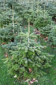 Nordmann Fir Christmas Tree Seedlings by Plant Profile Nordmann Fir The English Garden