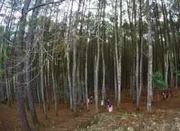 Batang Pohon Pinus Yang Berjajar Indah Di Hutan Imogiri Foto Anggialfonso