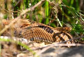 jerry davis vibrating tails but area snakes not rattlers