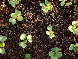 Natural Fertilizer For Pumpkins by Fertilizer For Radishes Diy