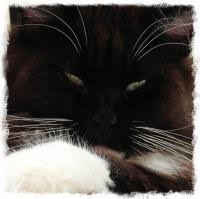 Do Maine Coons Shed In The Summer by Shedding Grooming Your Maine Coon Maine Coon Fancy Cat Forums