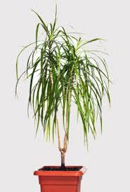 entretien des bambous en pot déco bambou pot lucky bambou entretien boulogne billancourt 7496