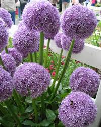 alliums autumn planting bulbs plants and more