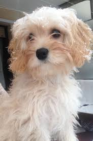 Do Cavapoos Shed A Lot by 28 Best Bella Images On Pinterest Cavapoo Dogs Bathing And