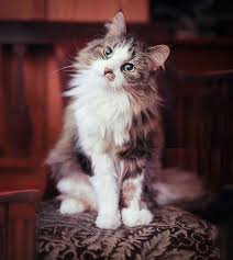 haired cats best 25 haired cats ideas on kitty cats