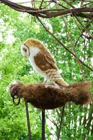 13 Best Rob Haynes Photography Images On Pinterest | Photography ... Owls Loft Barn Owl Projects Warren Photographic Owls Snowy Saw Whets Watching Out For Part 1 The Official Blog The Molly Corfield Habichatter Twitter Australian Masked Owl Tyto Novhollandiae Birdsstrigiformes Tonys Desk Innovative Ipdent Informed Blog Natureslens By Jaewoon U On 500px Spirito Barbagianni Crafts Mobile Trust Injured Barn Rescued Wildlife Friends Foundation Thailand 13 Best Images Pinterest Cotswolds