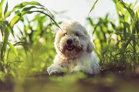 Low Shedding Dogs In India by Coton De Tulear Dog Breed Information Pictures Characteristics