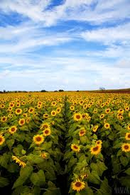 25+ Gorgeous Sunflower Fields Ideas On Pinterest | Sunflower Field ... Bands Bbq And Brews At The Barns Festival Seaford Historical On The Waters Inn Perfect Location Homeaway Two Harbors Kings Plant Barn Short Walks In Auckland Traverse City Hotels Hotel Indigo In Potted Carnivore Mount Hope Farm National Historic Site Bristol Rhode Island Florida Tag Archdaily Incredible Edibles More Nom Panda Fniture Home Decor Wedding Registry Crate Barrel Weekend Getaways From Nyc Day Trips New York