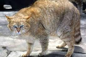 mountain cat petcha