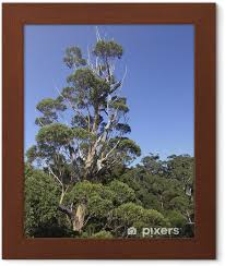 gerahmtes poster riesen eukalyptus baum