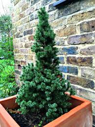 Christmas Tree Saplings For Sale Ireland by Just Saying 2015