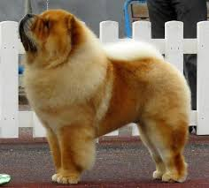 American Eskimo Shedding Problem by Chow Chow Wikipedia