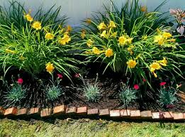 dianthus used as a border plant stella d oro daylilies are the
