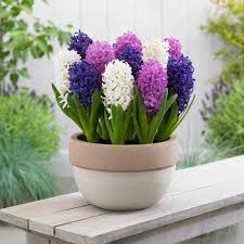 how to hyacinth bulbs