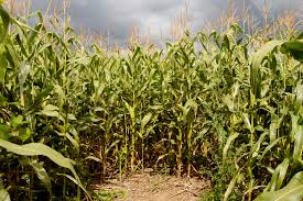 Pumpkin Patch Houston Tx Area by Best Hayrides Corn Mazes And Pumpkin Patches In Houston