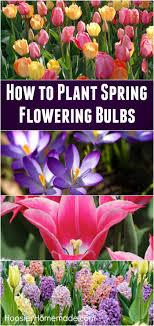 25 parasta ideaa summer flowering bulbs pinterestiss磴
