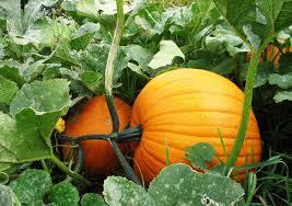 Best Pumpkin Patch Minneapolis by Three Children Sickened With E Coli From Dayton Pumpkin Farm
