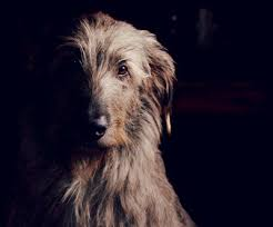 Irish Wolfhound Non Shedding by 6 Months Old Irish Wolfhound And Border Collie Mix What