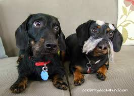 Do Long Haired Chiweenies Shed by The Truth About Wire Haired Dachshunds Crusoe The Celebrity