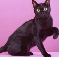 bombay cats bombay cat cat breeds petfinder