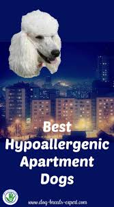 Best Non Shedding Hypoallergenic Dogs by 6 Hypoallergenic Apartment Dogs That Make The Best Pets