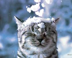snow cat cats in snow