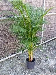 golden palm in pots dypsis lutescens golden palm