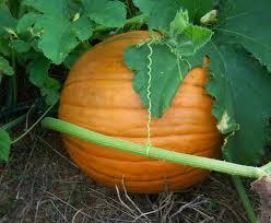 Pumpkin Patch Chesapeake Va by Virginia Pumpkin Patches Corn Mazes Hayrides And Halloween