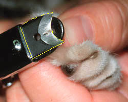 how to cut a cats nails clipping your cat s claws