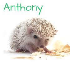 What Heat Lamp To Use For Hedgehogs by African Pygmy Hedgehog Baby Oliver Pinto Color