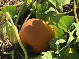 Pumpkin Picking Nj by N J Pumpkin Picking 2016 20 Places To Pick Straight Off The Vine