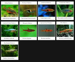 rasbora aquarium and stuff aquariums and animal