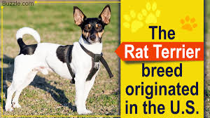 Dogs That Dont Shed Or Bark by Terrier Breeds That Don U0027t Shed Are Perfect For A Neat Freak Owner