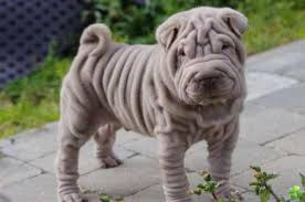 Do Mini Shar Peis Shed by As A Breed The Shar Pei Which Hails From Southern China And Is