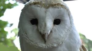 White Barn Owl - YouTube Barn Owls On Oak Beam Uk Bird Small Mammal Taxidermist Mike Gadd Owl Family Clipart Night Owl Pencil And In Color Barn Baby By Disneyqueen1 Deviantart All Things Things You Always Wanted To Know About Keeping As Pets Portrait Of A During Falconry Traing Dubai Uae The Centre Staffvolunteers Gallery My Maltese Falcon A Day Falconry Speck The Globe 130109 130110 Wildlife Center Virginia Lydias Video Youtube