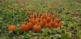 Nearby Pumpkin Patches new york pumpkin picking photos huffpost