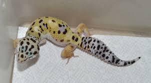 Do Baby Leopard Geckos Shed by Het Eclipse Poss Het Bell Leopard Gecko By Ghoulish Geckos