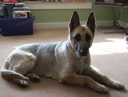 Shedding Blade German Shepherd by Can I Get A Long Coat Clipped To Look Like A Short Coat Page 2