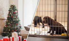 Are Christmas Trees Poisonous To Dogs Uk by Christmas Shopping Crackdown As Government Halts Dodgy Dog Dealers