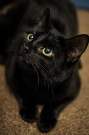bombay cat breed information pictures characteristics facts