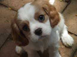 best small dogs for kids non shedding dog pet photos gallery