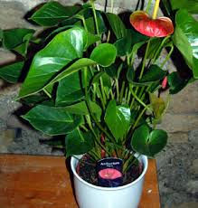 growing anthuriums in pots 28 images anthurium greenhouse