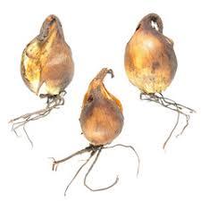 search photos tigridia pavonia