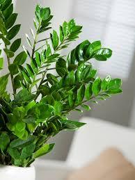gummibaum pflege fünf pflegeleichte zimmerpflanzen bayern
